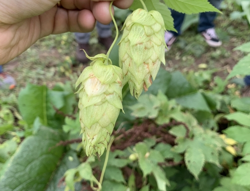 Brewer's Blog: Annual Hop Report and Upcoming Wet Hop Beers